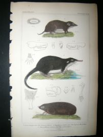 Cuvier C1835 Antique Hand Col Print. Common Shrew, Rufsian Musk Rat, Golden Mole,18
